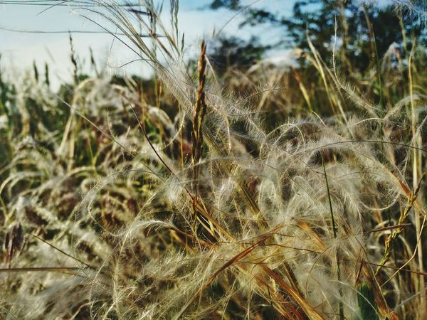 Stipa Stipa Stipa Fluffy Fluffy Hair Fluffy Plant Hair Plant Hairy  Environment Field Fields Of Gold Trip