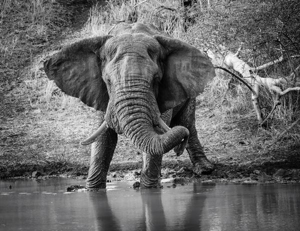 Trunks can get heavy when you are a big Tusker. This huge guy came down to have a drink in Zululand. Africa Eye4photography  Kwazulunatal Travel Wildlife & Nature EyeEm Best Shots South Africa Wildlife Photography Elephant Blackandwhite Trunks Nature Photography Zululand