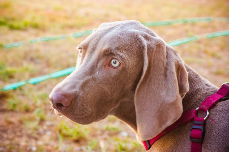 Animal Head  Animal Nose Animal Themes Canine Close Up Close-up Day Dog Dog Love DogLove Doglover Dogs Dogs Of EyeEm Dogs Playing  Dogs Playing Together Dogslife Dogstagram Dog❤ Domestic Animals German Weimaraner No People One Animal Outdoor Playtime Outdoors Playing Outside