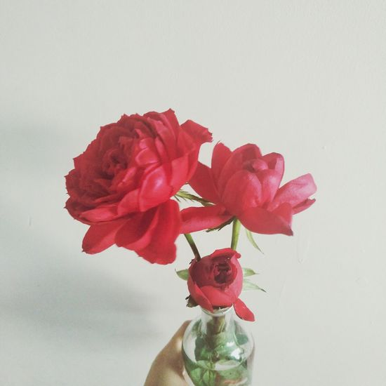 Flower Red Flower Head Indoors  Petal Vase Fragility