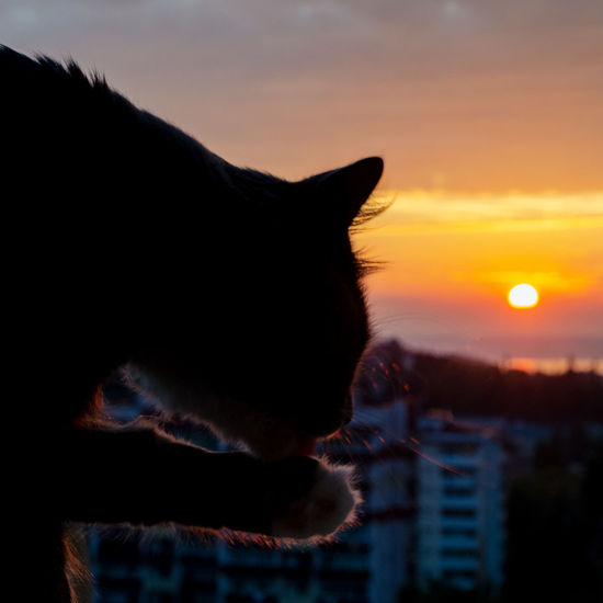Close-up of a cat looking at sunset