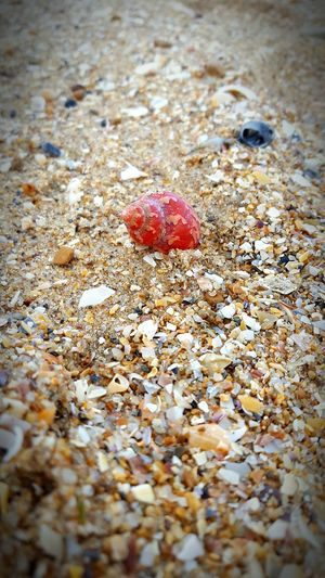 Little red shell Little Red Shell Sand And Shell