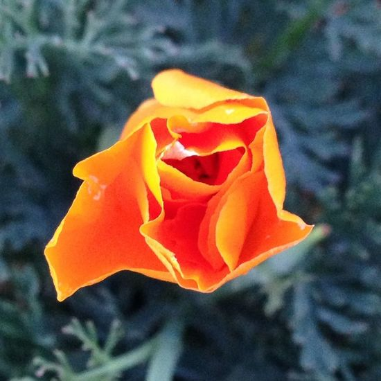 A California poppy (like the ones a few shots back in my gallery) just starting to it's doors for the evening. Happens every evening when the sun starts sinking low. Good night, Y'all! Flower Porn EyeEm Nature Lover No Filter