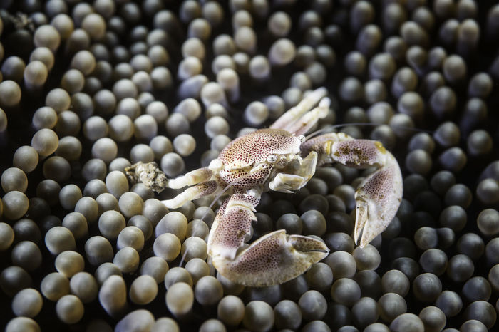 Porcelain crab in Anemone at Lembeh strait, Sulawesi, Indonesia SCUBA Scuba Diving Sulawesi Anemone Animal Animal Wildlife Close-up Coral Coral Reef Crab Indnesia Invertebrate Lembeh Strait Macro Marine Nature Porcelain Crab Sea Life Underwater underwater photography Zoology