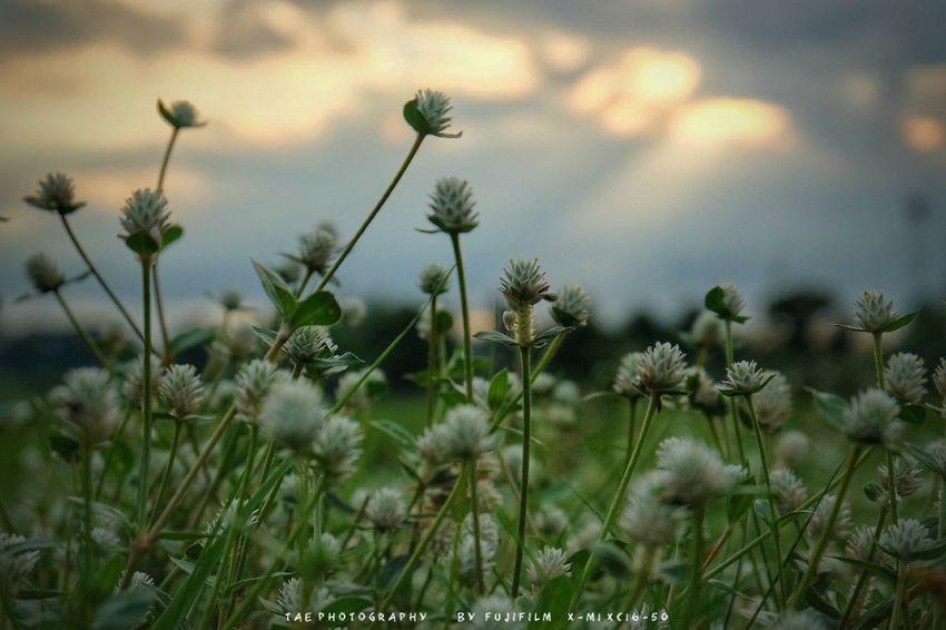 แ ค่ ด อ ก ห ญ้ า แ ล้ ว ไ ง มั่ น ใ จ ส ว ย ม า ก 😏 Sky Fujifilm X-m1 Walking Around Open Edit Enjoying Life Taking Photos Relaxing EyeEm Best Shots Nature Flowers