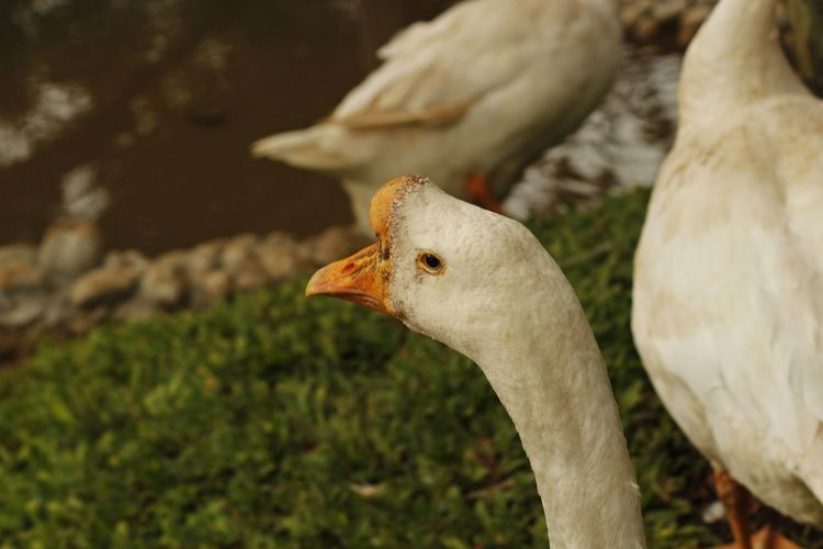 Domestic white geese Bird Animal Themes Animal Vertebrate Animals In The Wild Focus On Foreground No People White Color Close-up Group Of Animals Beak Day Nature Animal Body Part Land Outdoors Field Plant Animal Neck Animal Head  Poultry Farming Domestic Animals Feather
