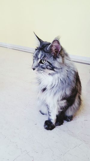 Louie Pets Close-up Whisker Domestic Cat Cat Yellow Eyes Maine Coon Cat At Home Kitten Feline