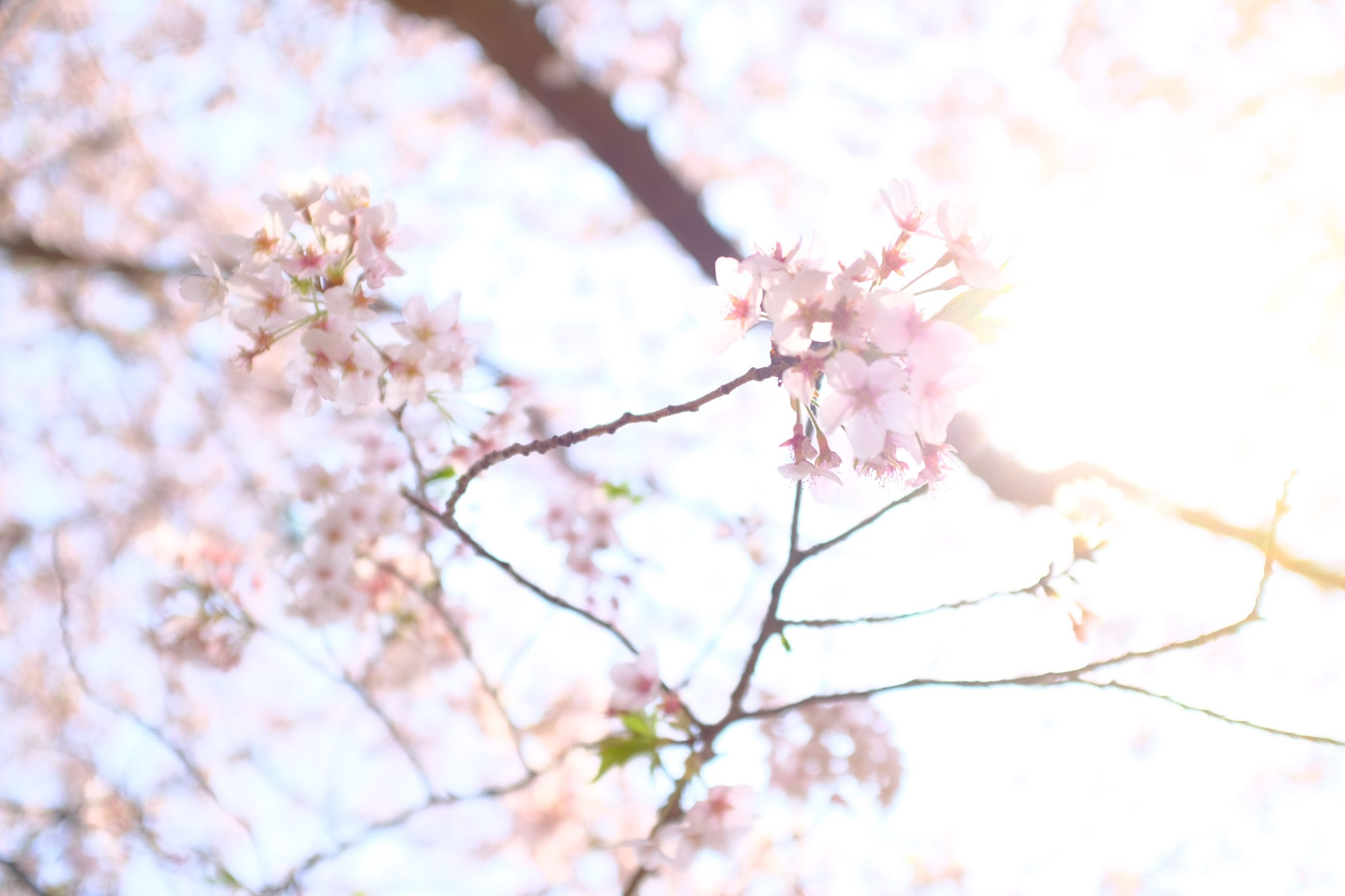 flowering plant, plant, flower, tree, growth, beauty in nature, fragility, branch, pink color, freshness, blossom, vulnerability, nature, cherry blossom, low angle view, cherry tree, springtime, day, close-up, no people, outdoors, flower head, bunch of flowers, spring