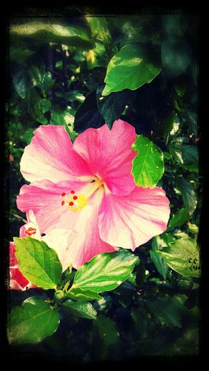 Hibiscus in my home:D