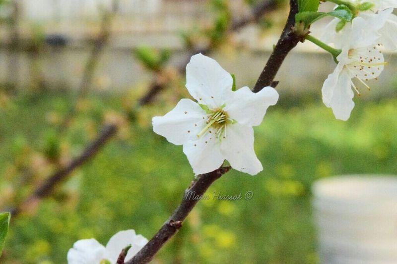 Amman Jordan Flower Flwoers Spring