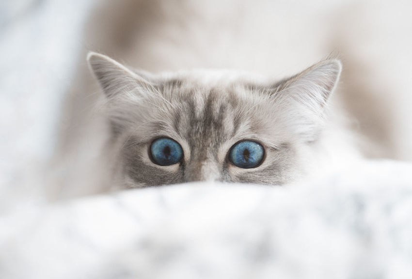 Birma Animal Animal Body Part Animal Eye Animal Head  Animal Themes Blue Eyes Cat Close-up Domestic Domestic Animals Domestic Cat Eye Feline Kitten Looking At Camera Mammal No People One Animal Pets Portrait Softness Young Animal
