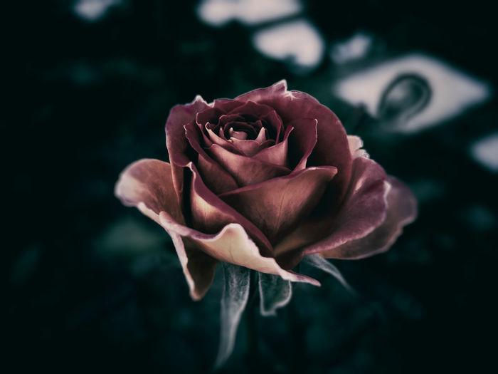 EyeEm Selects Rosé 薔薇 Autumn Photoshop 加工 Pink Flower