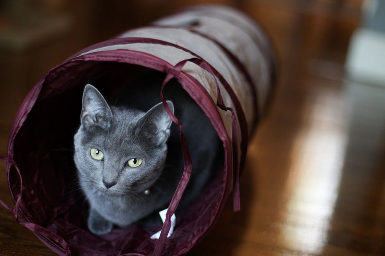 Cat Cats Cats Of EyeEm Meow RussianBlue Russianbluecat