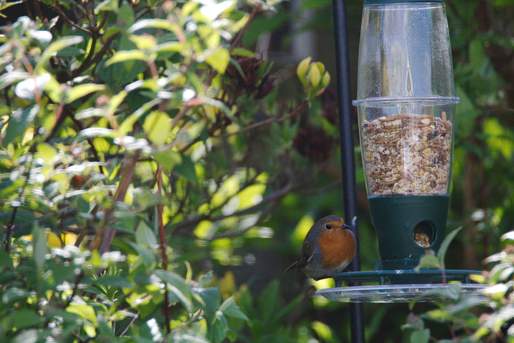 Animal Themes Animal Wildlife Animals In The Wild Beauty In Nature Bird Bird Feeder Close-up Day Focus On Foreground Food Food And Drink Green Color Nature No People One Animal Outdoors Perching Robin Tree