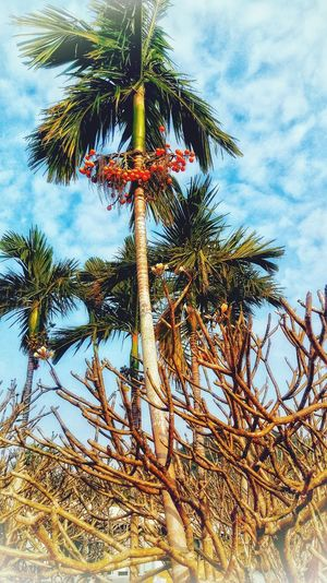 Bactris gasipaes & Frangipani ПерсиковаяПальма, Palm 😚 Bactrisgasipaes франжипани, Bluesky Hainan Colorful Tropicals Frangipani Frangipanitree Sky And Clouds Inspirational