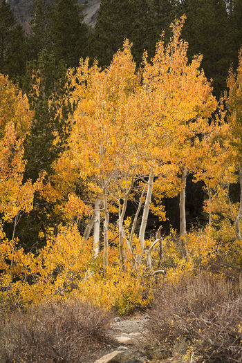Autumn landscape Autumn Tree Beauty In Nature Tranquility Scenics - Nature No People Orange Color Nature Forest Yellow Tranquil Scene Landscape Fall Vertical Composition Eastern Sierras, CA Aspen Trees Woods