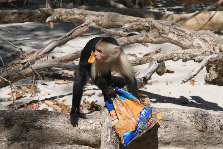 Capuchin monkey on fallen tree trunk while eating potato chip