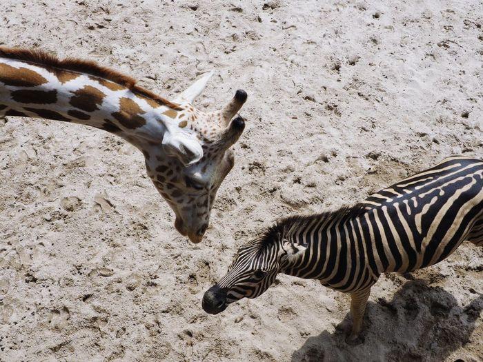 The encounter : giraffe and zebra Animal Instincts Giraffe Encounter Face To Face Zebra Sand Safari Animals Shadow Animal Markings Two Animals