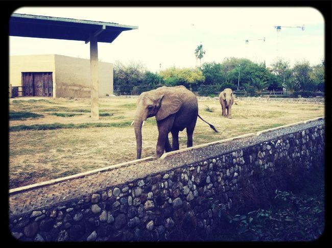 Elephants XD