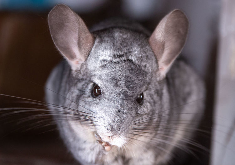 Mammal One Animal Pets Domestic Focus On Foreground Close-up Domestic Animals No People Animal Wildlife Whisker Animal Animal Themes Indoors  Vertebrate Animal Body Part Portrait Day Animal Head  Rabbit Looking At Camera Animal Ear Animal Eye Herbivorous Chinchilla