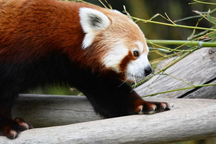 Nature Red Panda Wild Animal Themes