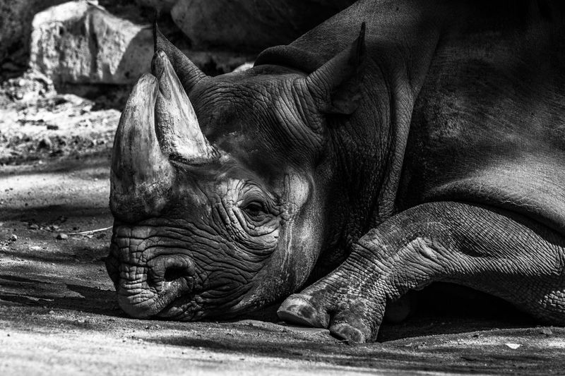 Nashorn-Siesta