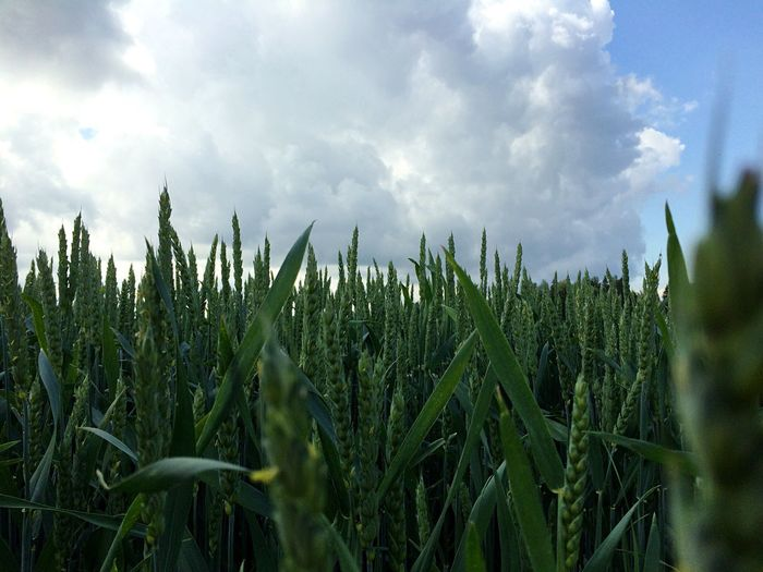 Oat crops growing on field against cloudy sky