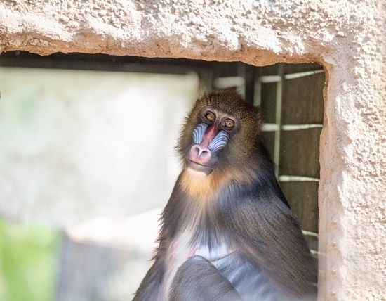 Sad Monkey Sitting Here Thinking It Through... Sitting Around Zoopark Zoo Dresden Germany Photos