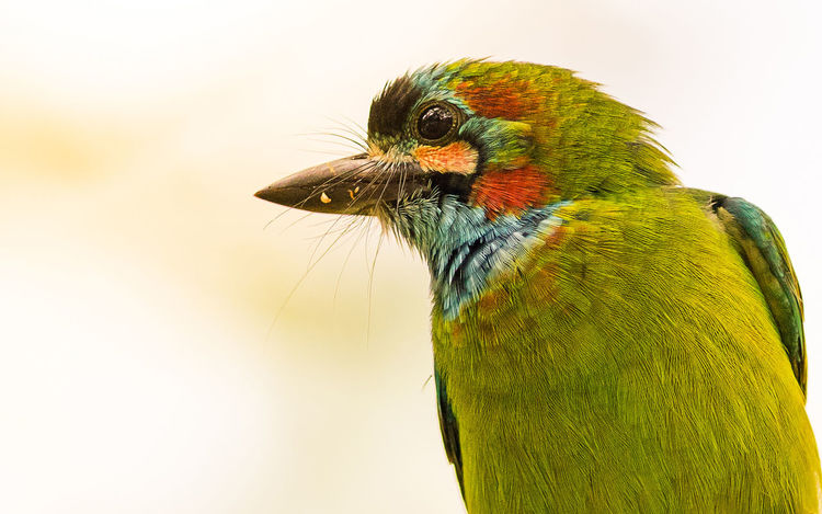 Animals Bird Photography Birds Birds_collection Blue Throated Barbet Nature Outdoors Thailand Animals Wildlife & Nature