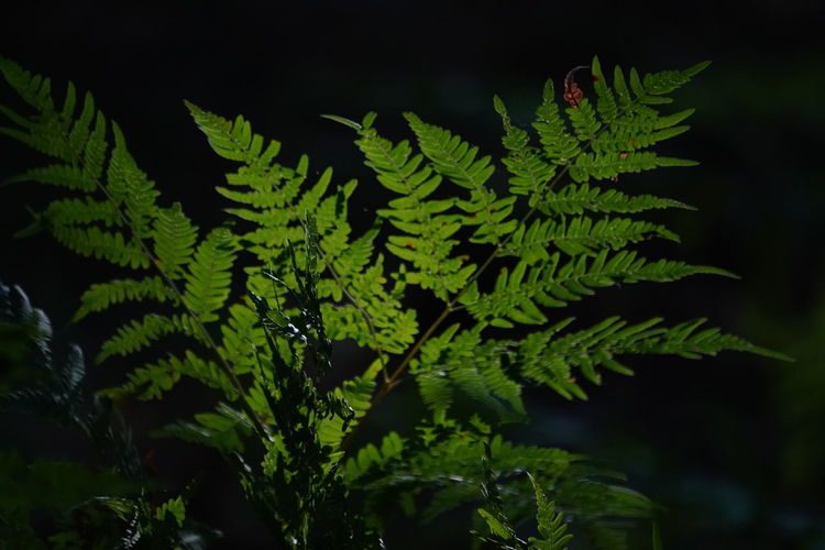 Sunlight Beauty In Nature Branch Close-up Coniferous Tree Day Fern Focus On Foreground Food And Drink Freshness Green Color Growth Leaf Lihgt&shadow Nature No People Outdoors Plant Plant Part Selective Focus Tranquility Tree