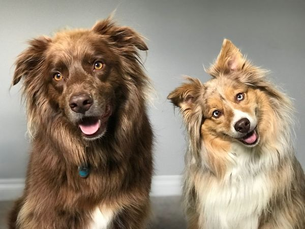 Australian Shepherd  Dog Canine Dog Pets Domestic Animal Themes Animal Two Animals Portrait Looking At Camera No People Indoors  Mouth Open Domestic Animals