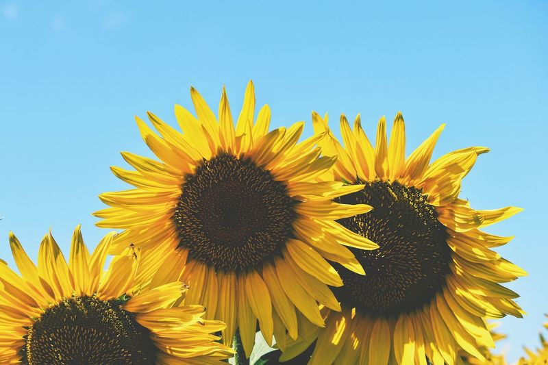 Sunflower time EyeEm Selects VSCO Yellow Flowering Plant Growth Flower Head Freshness Flower 10 Sunflower Beauty In Nature Nature Sky Pollen