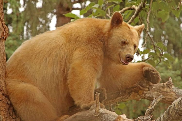 Blondes Have More Fun Blonde Bear Black Bear Black Bear In A Tree Wildlife Photography Wildlife & Nature