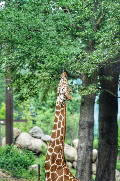 Reach! Tree Plant Animal Animal Themes Giraffe Animal Wildlife Animals In The Wild