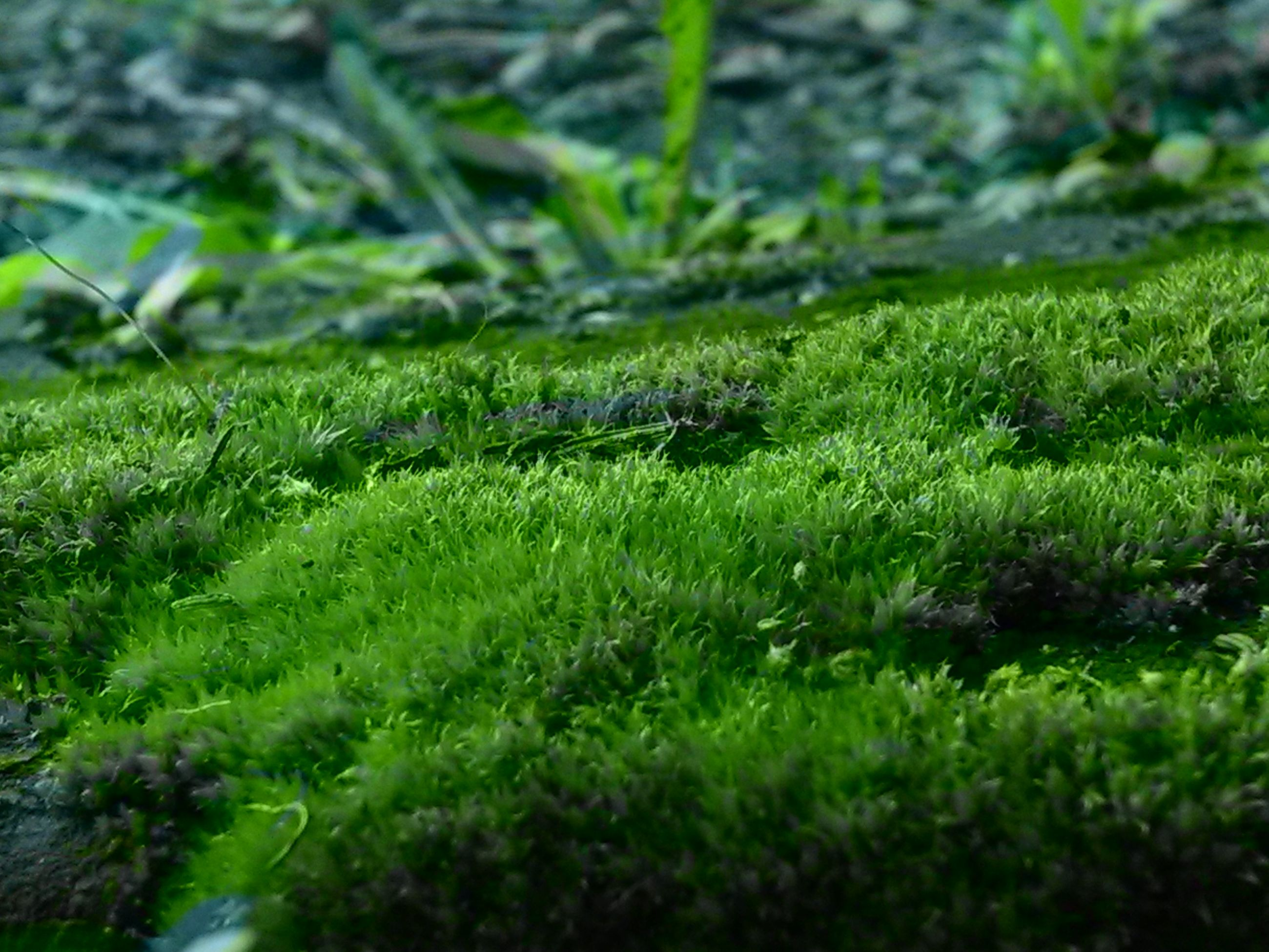 grass, green color, growth, selective focus, field, grassy, nature, plant, beauty in nature, tranquility, close-up, focus on foreground, green, day, outdoors, surface level, blade of grass, no people, moss, lush foliage
