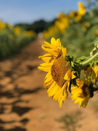 Sunflower hanging in the row Flower Flowering Plant Plant Flower Head Growth Vulnerability  Fragility Inflorescence Focus On Foreground Beauty In Nature Yellow Petal No People Pollen Day Close-up Sunflower Freshness Sunlight Nature