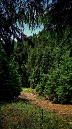Growth Tree Nature Day No People Green Color Outdoors Sunlight Grass Beauty In Nature Water Mountain Forest Mountain Range Romania Romanian Forest Travel Photography Tree Tree Branches Pine Tree Branch Trip Photo Freshness Mountain Path