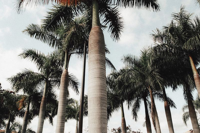 Beachin' Palm Trees USA Gulf Florida Ocean Palm Tree Tree Tree Trunk Low Angle View Nature Palm Leaf Growth Tropical Climate Tranquility Beauty In Nature Scenics Outdoors Sky Tranquil Scene Day Travel Destinations Beach No People Branch Plant Part