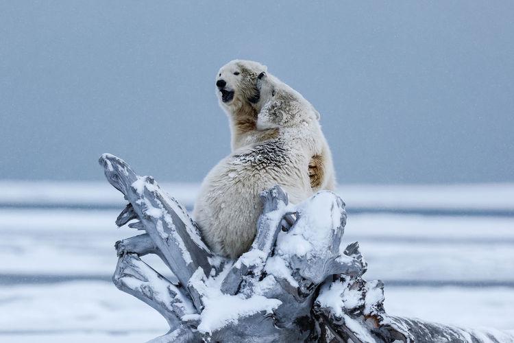 Polar bears fighting on fallen tree
