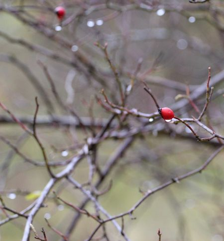 Drop Hagebutten Fruit Red Tree Food And Drink Rose Hip Berry Fruit Branch Focus On Foreground Food Twig Nature Outdoors Rowanberry Day No People Healthy Eating Growth Beauty In Nature Close-up Freshness Herbst17 🦋 Beauty In Nature