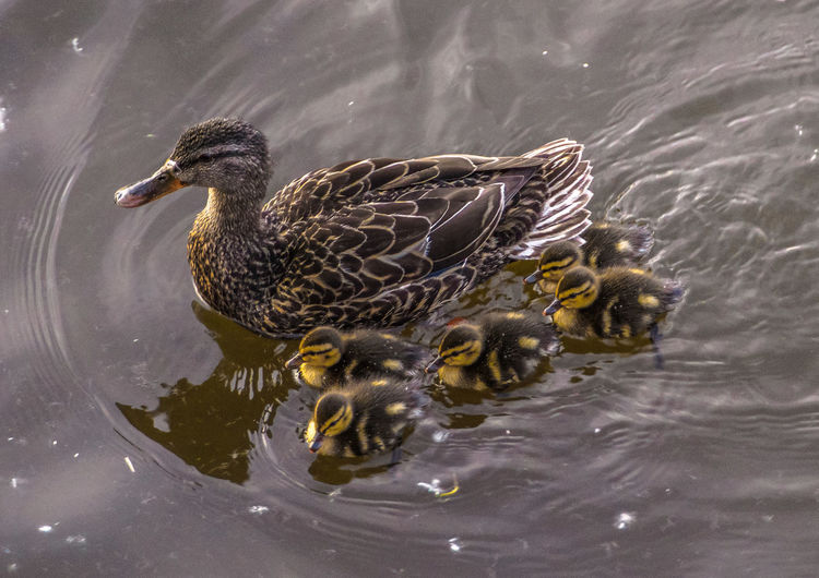 High Angle View Of Duck And Ducklings Swimming On Lake
