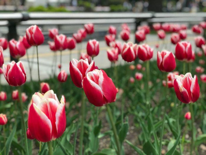 Tulip Odori Park Sapporo Tulip EyeEm Selects Plant Flowering Plant Flower Freshness Growth Close-up Botany Pink Color Flower Head Inflorescence Outdoors No People Petal Red Nature Beauty In Nature Vulnerability  Fragility Focus On Foreground Day