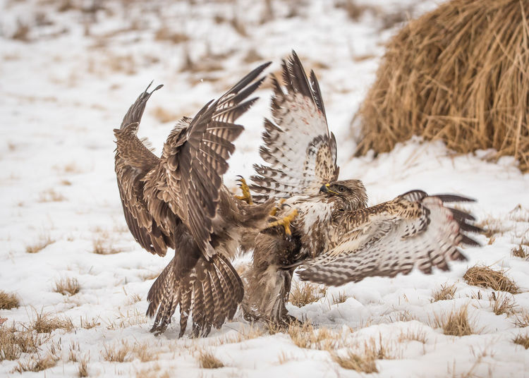 Birds fighting on snow covered landscape