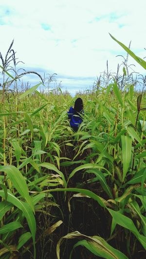 Кукуруза поле кукурузки потерялась в зелени Day Sky