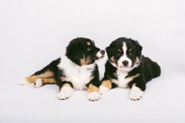 Dogs sitting on white background