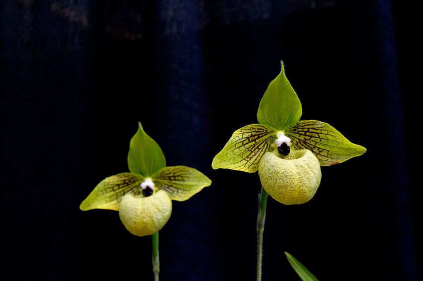 close-up of plant against blurred background Beauty In Nature CIRCLE Of LIFE Close-up Cypripedium Day Flower Focus On Foreground Green Color Leaf Nature No People Orchid On Black Background Outdoors Plant Pointed Petals Round