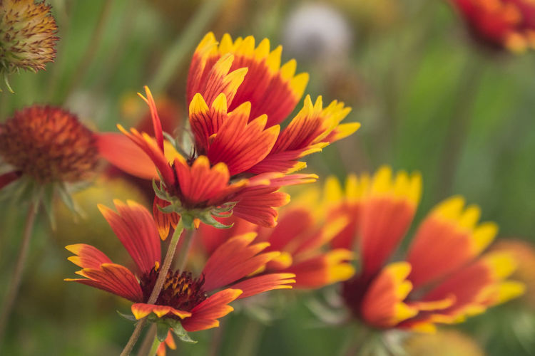 Close-up Flower Flowering Plant Freshness Plant Vulnerability  Fragility Beauty In Nature Growth Petal Flower Head Inflorescence Selective Focus Nature Focus On Foreground No People Red Day Pollen Orange Color Outdoors
