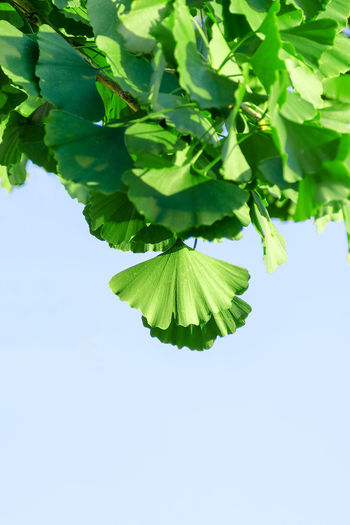 Green leaves of