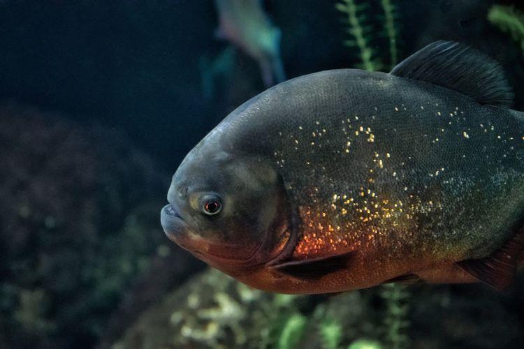 Piranha rosso Piranha Acquario Di Genova UnderSea Sea Life Water Swimming Underwater Sea Fish Aquarium Animals In Captivity