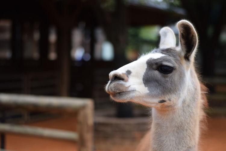 Close-up of llama in zoo